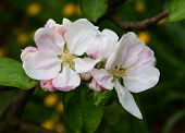 white and pink flowers of apple tree blossoming
