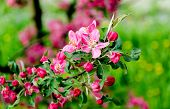 Flowering Crabapple Blooms
