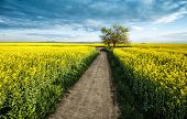 stock photo of rape  - Colza field with blue sky early Spring - JPG