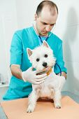 male veterinarian surgeon worker treating examining west highland white terrier dog in veterinary surgery clinic