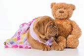 best friends - dogue de bordeaux puppy and teddy bear