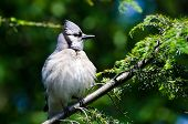 Young Blue Jay All Puffed Up