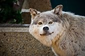 stock photo of taxidermy  - A taxidermy Grey Wolf indoors looking at the camera - JPG