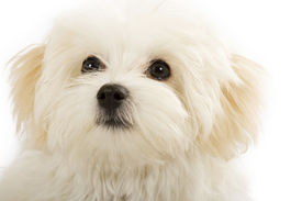 picture of bichon frise dog  - adorable bichon frise puppy closeup picture over white - JPG