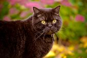 british shorthair cat portrait outdoors