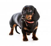 brown short hair puppy dachshund on white