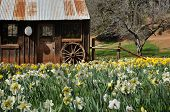 Old Cabin With Daffodils