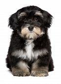 Beautiful Cute  Little Havanese Puppy Is Sitting Frontal