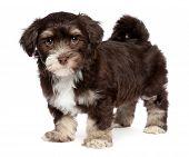 Cute Dark Chocholate Havanese Puppy Dog Is Standing
