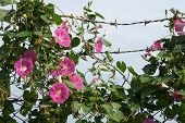 bindweed and barbed wire
