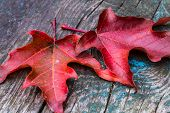 Red Maple leaves on wood in Autumn