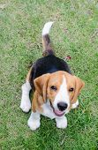 Beagle Dog Smile In The Garden