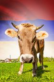 foto of armenia  - Cow with flag on background series  - JPG