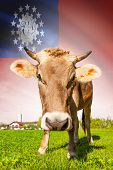 Cow With Flag On Background Series - Burma