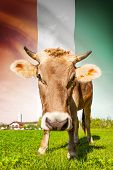 Cow With Flag On Background Series - Cote D'ivoire - Ivory Coast