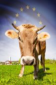 Cow With Flag On Background Series - European Union
