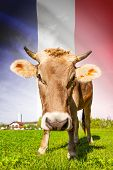 Cow With Flag On Background Series - France
