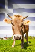 Cow With Flag On Background Series - Greece