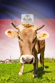 Cow With Flag On Background Series - Haiti