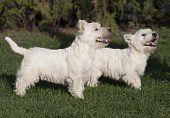 Cute Westie Puppies