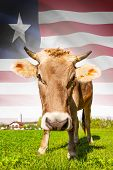 Cow With Flag On Background Series - Liberia