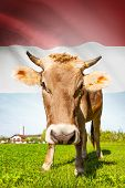 Cow With Flag On Background Series - Luxembourg