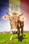 Cow With Flag On Background Series - Moldova