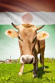 Cow With Flag On Background Series - Niger