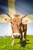 Cow With Flag On Background Series - Sweden