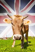 Cow With Flag On Background Series - Great Britain
