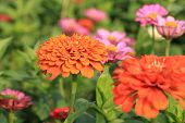 picture of zinnias  - Zinnia flowers - JPG