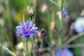 Centaurea Cyanus, Commonly Known As Cornflower