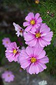 Garden Cosmos (cosmos Bipinnatus)