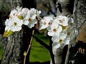 Pear Blossoms - Spring