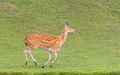 Sika Deer (cervus Nippon) Running
