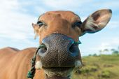 Cute cow closeup