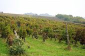 foto of moscato  - rows of grapes Oltrepo Pavese barbera green vegetable italy wine landscape - JPG