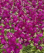 Stock  'hot Cakes Mix'  (matthiola Incana)