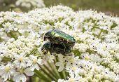 A Large Green Beetles