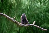 image of macaque  - Celebes crested macaque  - JPG