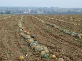 Autumn harvest of pumpkins from the field, Niederösterreich, Austria state