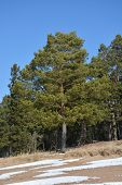 Pine Tree On The Slope At The Spring Season