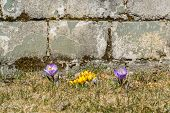 Yellow And Purple Crocuses In The Grass