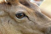 pic of bucks  - detail on fallow deer buck eye  - JPG