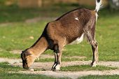 Goat Grazing Alone At The Farm