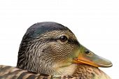 image of duck-hunting  - isolated portrait of a female mallard duck  - JPG