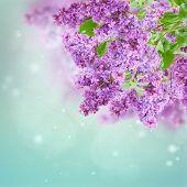stock photo of lilac bush  - Bush of  of purple Lilac flowers   on blue sky bokeh  background - JPG