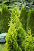 Green thuja tree in garden