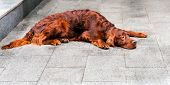 Постер, плакат: Irish Setter prostrate