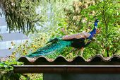 Blue Peacock Standing On Roof